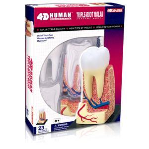 人体解剖模型 歯根解剖モデル 4D Human Anatomy TRIPLE-ROOT MOLAR|uminekoya