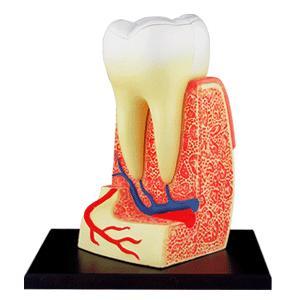 人体解剖模型 歯根解剖モデル 4D Human Anatomy TRIPLE-ROOT MOLAR|uminekoya|02