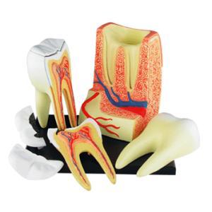 人体解剖模型 歯根解剖モデル 4D Human Anatomy TRIPLE-ROOT MOLAR|uminekoya|03