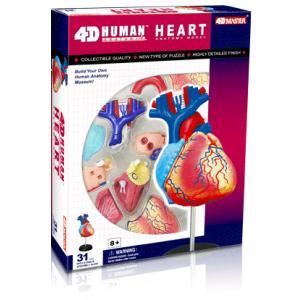 人体解剖模型 心臓解剖モデル Human Anatomy HEART|uminekoya
