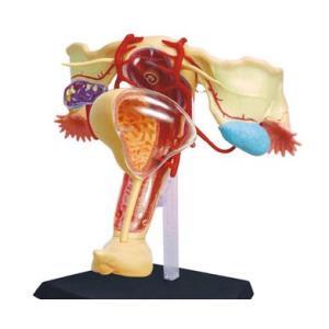 人体解剖模型 雌性生殖器解剖モデル Female reproductive|uminekoya