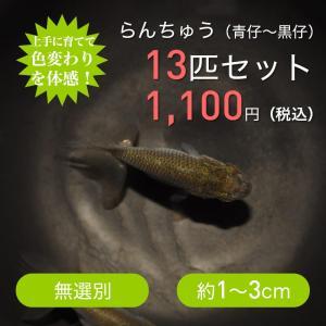 らんちゅう 稚魚〜青仔10匹