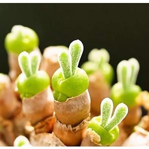 うさ耳モニラリア 栽培キット 種子10粒 可愛い箱に全部入り。 Monilaria cactus unicorn802