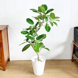 フィカス ベンガレンシス 観葉植物 本物 ホワイトセラアート鉢 ベンガルゴムの木 ベンガル ベンガルゴム ゴムの木 インテリア 8号 大型 unicorn802
