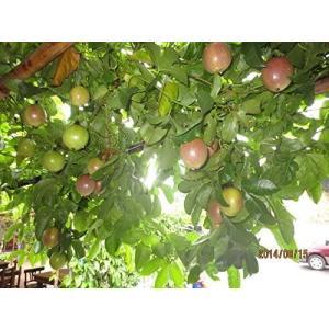 パッションフルーツの苗2本 多年草なので最大で4年間収穫できます。鈴なりの実を育てる事も可能です unicorn802