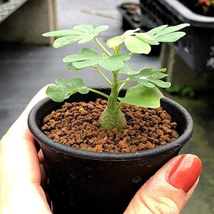 多肉植物:アデニア・グラウカ* 赤松実生 unicorn802