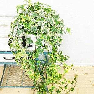 ヘデラ アイビー ヘリックス 吊り鉢 観葉植物 本物 中型 インテリア unicorn802
