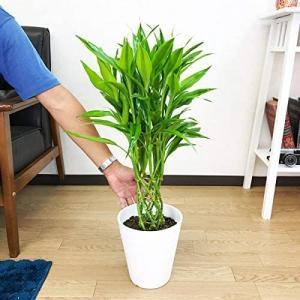ミリオンバンブー 幸運の竹 ホワイトセラアート鉢植え 観葉植物 インテリア 中型 ミニ ラッキーバンブーの画像