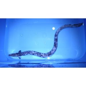 (ウナギ科)海水 ウナギ 白黒模様 Anguilla japonica (50〜60cm) 1匹