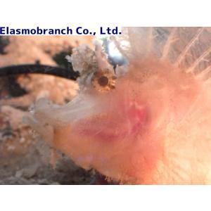 (フサカサゴ科) ボロカサゴ イエロー Rhinopias frondosa (7〜10cm) 1匹