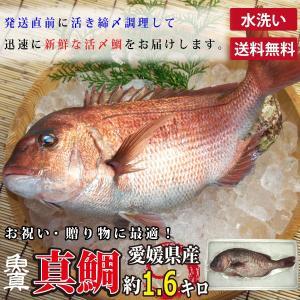真鯛 水洗い 1尾 (1尾あたり約1.6kg) 養殖真鯛 お作り お祝い ギフト お食い初め たい ...