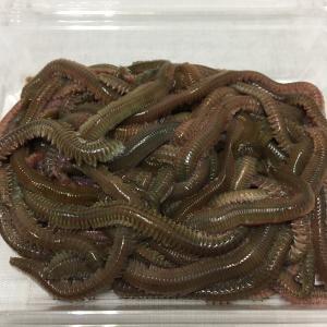 釣り餌 生き餌 青イソメ 約90g