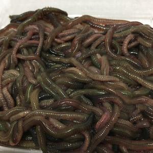 釣り餌 石ゴカイ  約45g ジャリメ 赤イソメ 生き餌 活きエサ 海釣り堤防釣りキス釣り