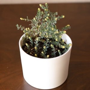 白い陶器の植木鉢(つやなし、マットタイプ) / ずんどうタイプ|utyu|12