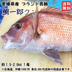 愛媛 ( 鯛一郎クン ブランド真鯛 ) 1.5-2kgサイズ 下処理済み 送料無料 宇和海の幸問屋|uwakai-s