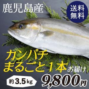 カンパチ まるごと一本お届け 約3.5kg 鹿児島県産|vegeko