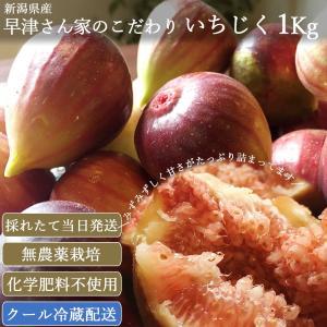 イチジク 生いちじく1kg 新潟県産 無農薬栽培 採れたて当日発送 無花果 ギフト 詰め合わせ