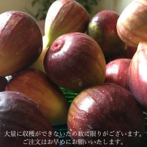イチジク 国産 早津さん家のいちじく1kg 新潟県産 無農薬栽培 無花果 生|vegetable-fruit-igh|04