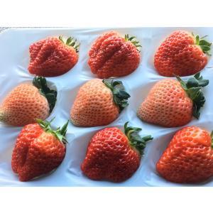 いちご イチゴ 苺 紅白でお祝いにピッタリ 高橋さん家の稀少な白苺 桃薫と大粒越後姫 ダブルパック約350g×2パック 母の日|vegetable-fruit-igh