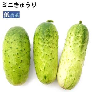 ミニきゅうり 低農薬栽培 1.2kg