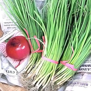 野菜の苗 緋だまり・赤タマネギ 玉葱 玉ねぎ 50本入|vg-harada