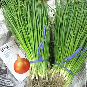 野菜の苗 O・P黄 タマネギ 玉葱 玉ねぎ  100本入|vg-harada