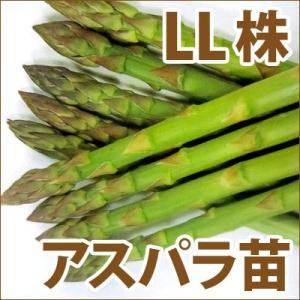 野菜の苗 ウェルカム アスパラガス苗・アスパラ苗 超特大LL株/素掘り株|vg-harada