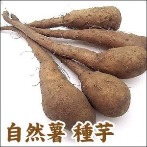 野菜・種/苗 自然薯/改良短形自然薯(ヤマイモ)・生もの種 5本入/一袋|vg-harada