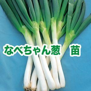 野菜の苗 なべちゃんねぎ ネギ・葱 苗 50本/束|vg-harada