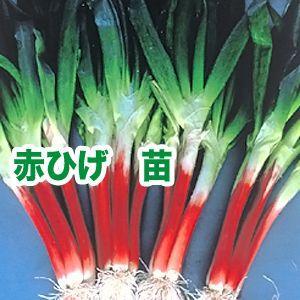 野菜の苗 赤ひげ ねぎ ネギ・葱 苗 50本/束|vg-harada