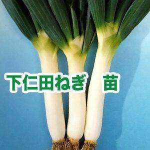 野菜の苗 下仁田ねぎ ネギ・葱 苗 50本/束|vg-harada