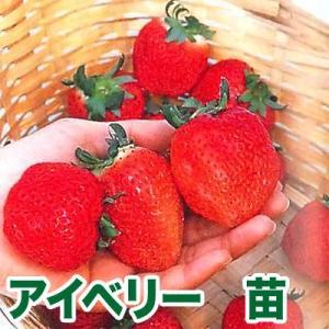 ジャンボいちご!果物の苗 アイベリー・いちご苗 苺 4ポット入りセット|vg-harada