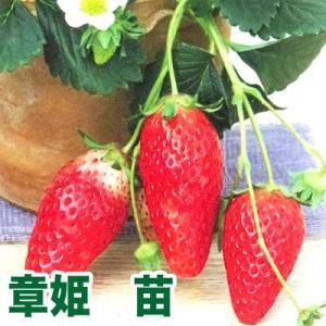 果物の苗 章姫・いちご苗 4ポット入りセット|vg-harada