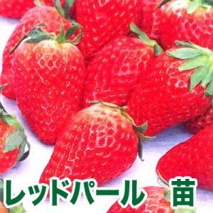 果物の苗 レッドパール・いちご苗 4ポット入りセット|vg-harada