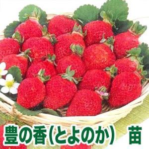 果物の苗 豊の香(とよのか)・いちご苗 4ポット入りセット|vg-harada