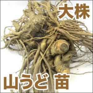 野菜の苗 山うど 苗 大株|vg-harada