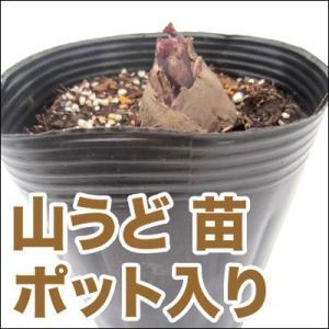 野菜の苗 山うど 苗 ポット入り(10.5cmポット)|vg-harada