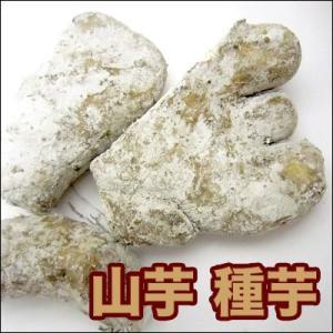 野菜・種/苗 ヤマイモ / 別名:いちょうイモ・大和イモ・手イモ 種芋・生もの種 500g[約10個前後]|vg-harada