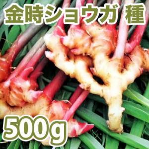 野菜・種/苗 千葉県産  金時生姜/赤芽しょうが・生もの種 種生姜 量り売り500g|vg-harada