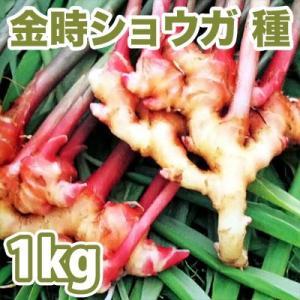 野菜・種/苗 千葉県産  金時生姜/赤芽しょうが・生もの種 種生姜 量り売り1kg|vg-harada