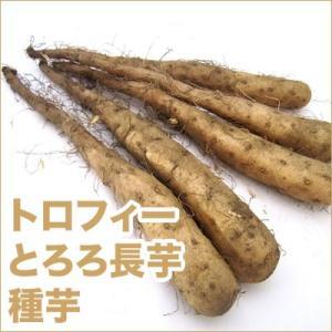 野菜・種/苗 トロフィー/1066 (トロロ) 長芋・山芋・ヤマイモ・だるま芋 種芋・生もの種 5本入|vg-harada