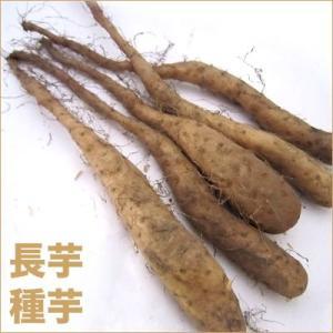 野菜・種/苗 長芋・ヤマイモ 種芋・生もの種 5本入