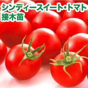 野菜の苗 シンディースイート・トマト 接木苗 4ポット入りセット |vg-harada