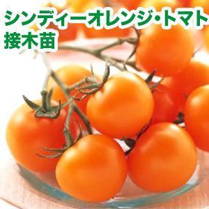 野菜の苗 シンディーオレンジ・トマト 接木苗 4ポット入りセット |vg-harada