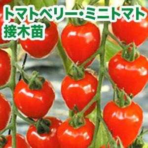 野菜の苗 トマトベリー・ミニトマト 接木苗 4ポット入りセット |vg-harada