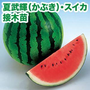 野菜の苗 夏武輝/かぶき・スイカ 接木苗 4ポット入りセット |vg-harada