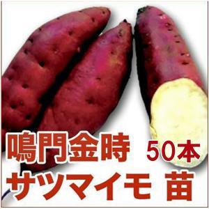 野菜の苗 なると金時/鳴門金時・サツマイモ さつま サツマ 苗 50本入り |vg-harada
