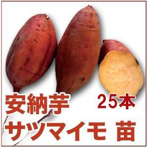 野菜の苗 安納芋/あんのう芋・サツマイモ さつま サツマ 苗 25本入り(5月上旬より順次発送)|vg-harada