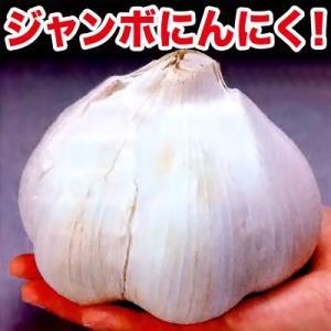 野菜・種/苗 ジャンボにんにく ニンニク種子 1個|vg-harada