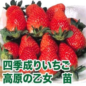 果物の苗 四季成りいちご 高原の乙女・いちご苗 2ポット入りセット|vg-harada
